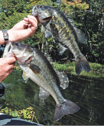 Suwannee Bass on top, Largemouth Bass below